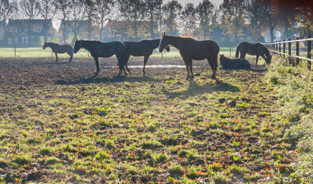 Staring brown horses in backlight at dawn on the edge of a small Dutch village. photo