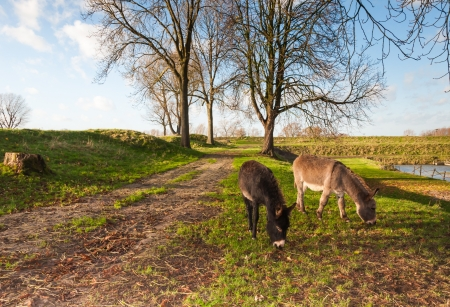 bare ass: Two grazing donkeys in an autumnal landscape in the Netherlands