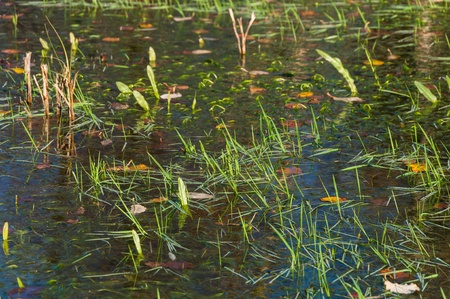 Mirror smooth water surface in fall reflecting young blades of grass Stock Photo - 16666172