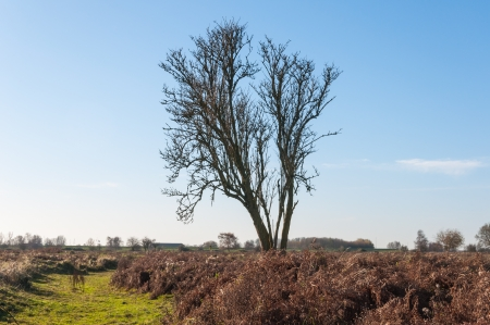 Colorful Dutch landscape in autumnal colors, a blue sky and a solitairy bare tree  photo