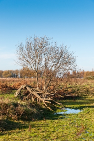 solitair: Bare tree in a different shape in a Dutch nature reserve in autumnal colors.
