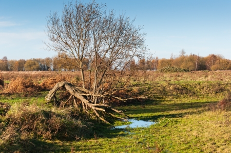 Bare tree in a different shape in a Dutch nature reserve in autumnal colors.