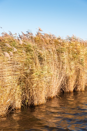 phragmites: Closeup of a fringe of reeds in autumn colors seen from the water  Stock Photo