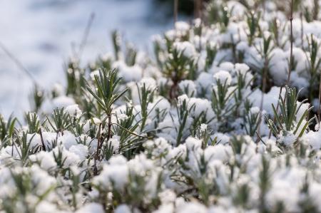 pinnately: Vista dettagliata di foglie di lavanda e steli ricoperti di neve invernale
