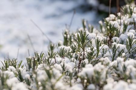 Gedetailleerde weergave van lavendel bladeren en stengels bedekt met winterse sneeuw