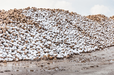 Part of a heap of sugar beets covered with snow Stock Photo - 16750011