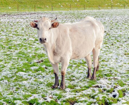 curiously: Creamy colored cow with horns and muddy paws looking curiously in  a snowy meadow.