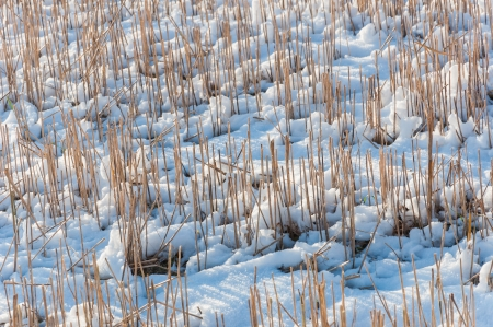 Closeup of a field with stubbles in a snowy farmland. Stock Photo - 16808077