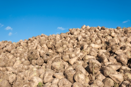 A heap of sugar beets in wintry sunlight waiting for transport to the the sugar refinery. photo