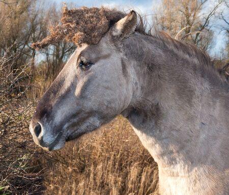 Closeup of a Konik horse in its natural environment. Stock Photo