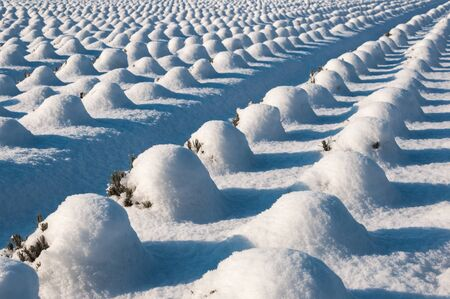 Rows of lavender plants covered with snow  photo