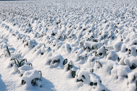 Agricultural field with mature leeks ready for harvest but now covered with snow  photo