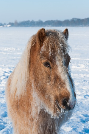 Horse with frosty hairs and manes standing alone in a snowy meadow at the edge of a village. photo