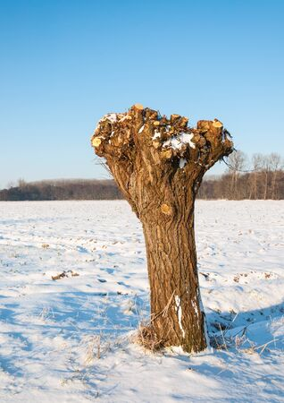 whose: Pollard willow in winter whose branches and osiers are cut and harvested. Stock Photo