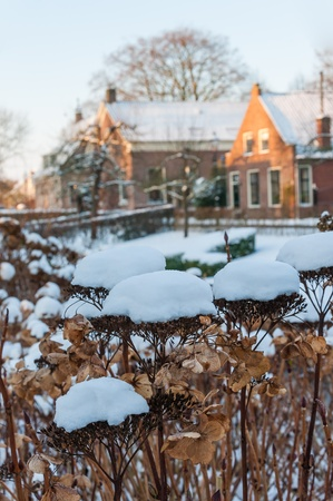 Brown and decaying hydrangea flowers covered with snow in a historic Dutch village. Stock Photo - 17375400