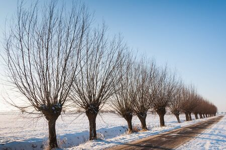 Row of pollard willows with branches along a Dutch country road in a snowy landscape. photo