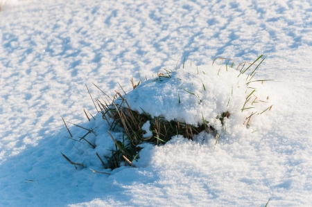 Closeup of a freshly fallen snow on a clump of grass in winter. photo
