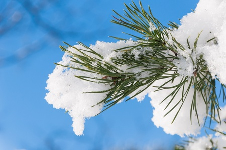freshly fallen snow: Vista dettagliata sulla fine di un ramo di pino con neve fresca in inverno. Archivio Fotografico