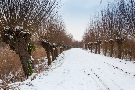 pollard: Snowy path between rows of pollard willows  in a Dutch nature reserve. Stock Photo