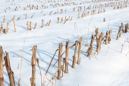 Detailed view at harvested fodder maize in a snowy Dutch landscape. photo