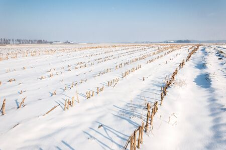 View at lines of harvested fodder maize in a snowy Dutch landscape. photo