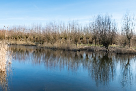 pollard willows: Reflection of a row of pollard willows in a mirror smooth water surface. Stock Photo