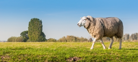 Ram on a Dutch dike looking for female sheep