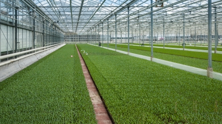 Advanced Dutch plant nursery with rows of very much small green cabbage plants  Stockfoto