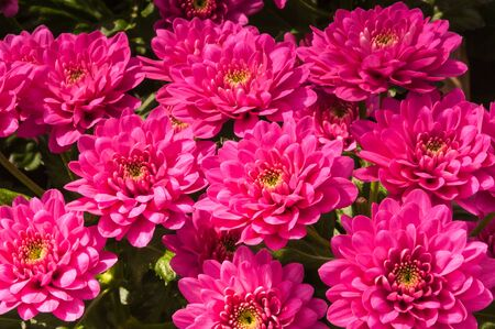 hearted: Detailed view at yellow hearted Chrysanthemums in a sunny Dutch flower nursery.
