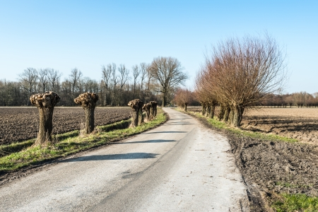 pollard willows: Pruned and untrimmed pollard willows along a rural road in the Netherlands. Stock Photo