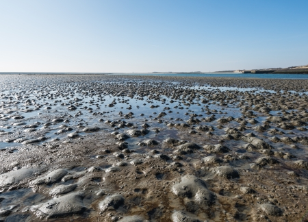 lugworm: The small heaps of sand on the beach are formed by the excrements of the lugworms living in the soil.