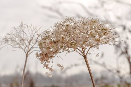 Fragile overblown Hydrangea bloom in spring against a blurred natural background. photo