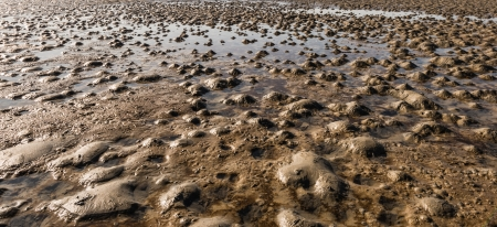 lugworm: The small heaps of sand on the beach are formed by the excrements of the lugworms living in the soil