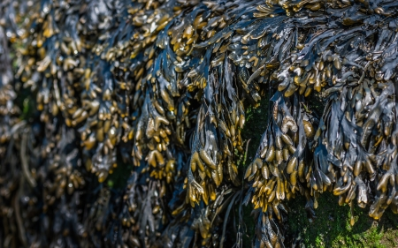 Large quantities of Bladderwrack or Fucus vesiculosus seaweed on a large rock are visible at low tide. Stock Photo - 18459298