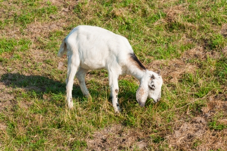 Young white Nubian goat with horns is eating photo