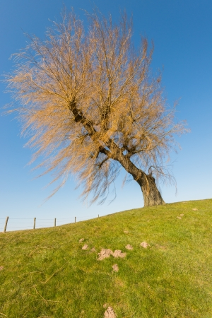 Leafless weeping willow on a dike and against a blue sky. photo