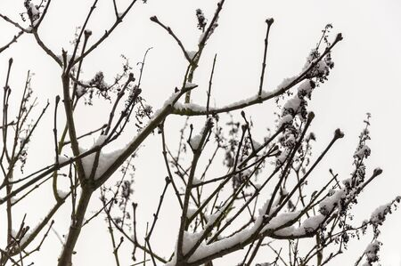 Branches with leaf buds covered with a thick layer of snow. photo