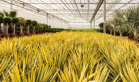importer: Green en yellow colored Yuccas at an import company of tropical plants in the Netherlands.