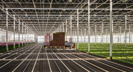floriculture: Planting machine plants chrysanthemum cuttings in a Dutch chrysanthemum flower nursery. Stock Photo