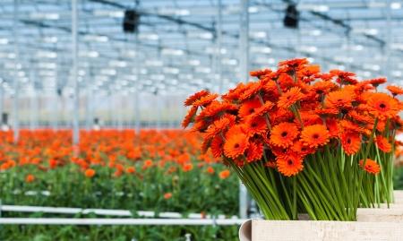 Gewächshaus in den Niederlanden mit einer Menge von Orange blühende Gerbera Blumen bereit für die Ernte und Transport