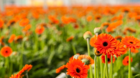 hearted: Dark hearted orange colored Gerbera flowers against a blurred  background in the greenhouse  Stock Photo