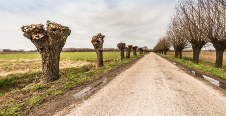 truncated: Truncated and not pollarded willow trees on either side of a rural road.