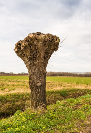truncated: Truncated willow in a polder landscape in the Netherlands