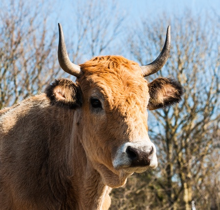 closeup cow face: Close-up of the face of horned light brown cow against the natural background of a blue sky and bare branches.