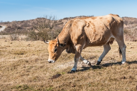 dry cow: Horned female cow walking in a dry meadow against a background of Dutch dunes.