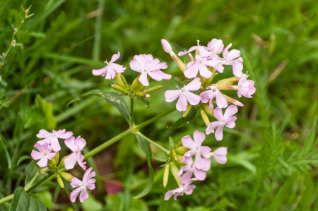 Blooming Ladys Smock or Cardamine pratensis against its blurred natural green  background. photo