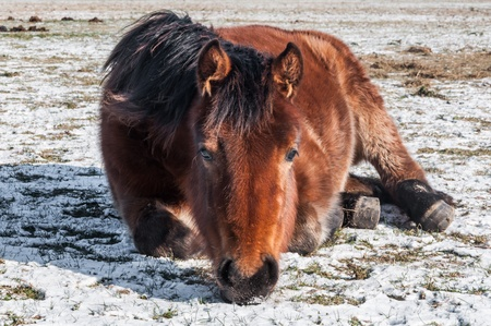 In the snow lying horse is staring forward  photo