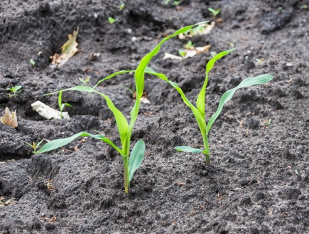 Closeup of two maize seedlings in moist soil  photo