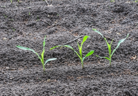 Closeup of three maize seedlings in a moist field  photo