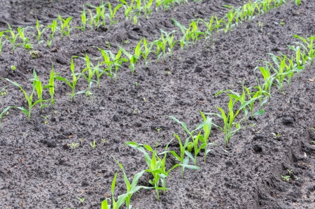 Closeup of  rows of maize seedlings in a moist field  photo